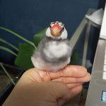 文鳥の温ちゃん